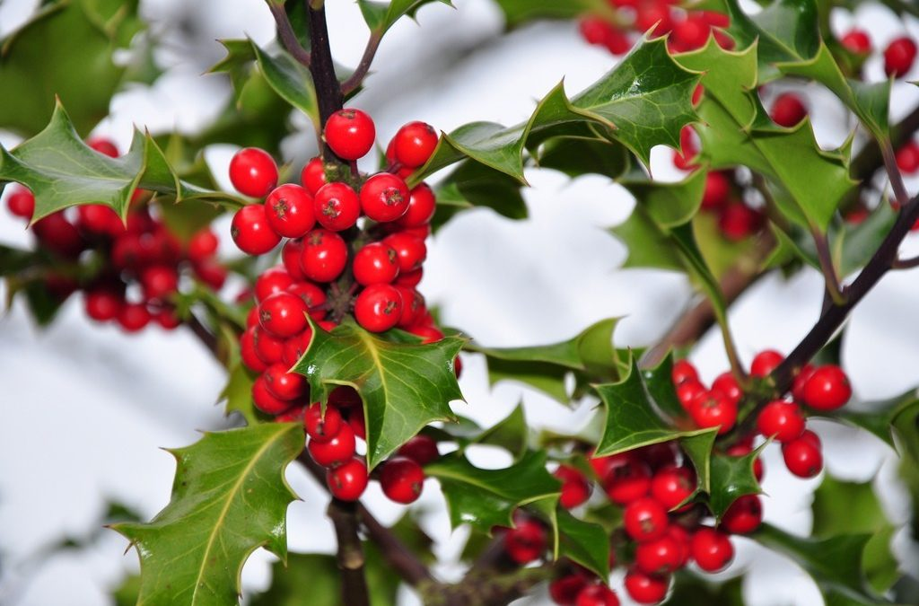 Holly, A Tree of Magic