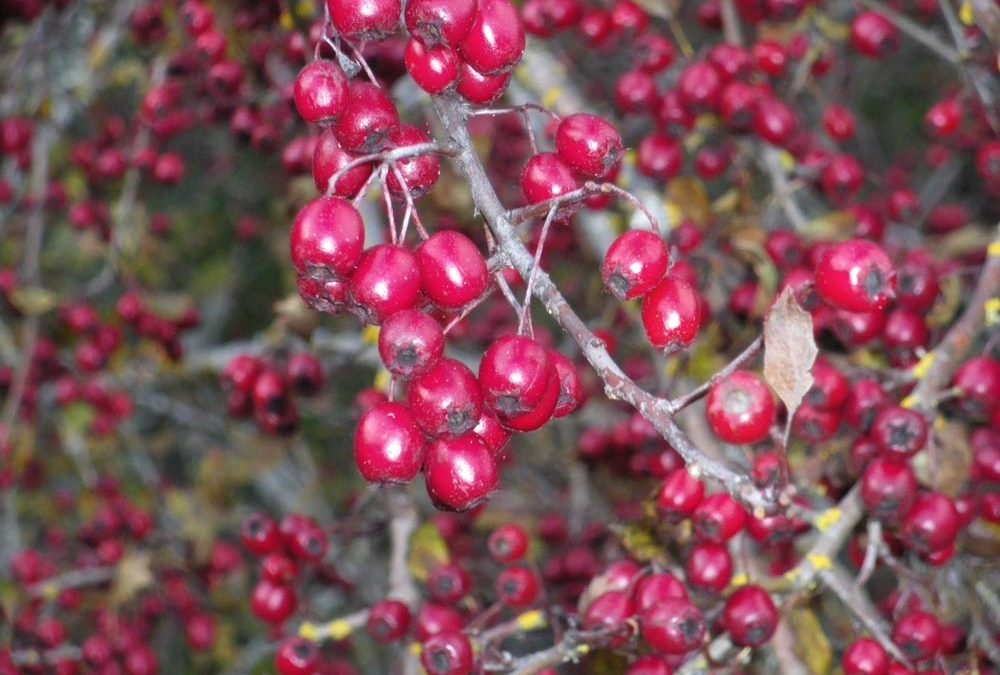 Hawthorn: A Syrup for Your Heart