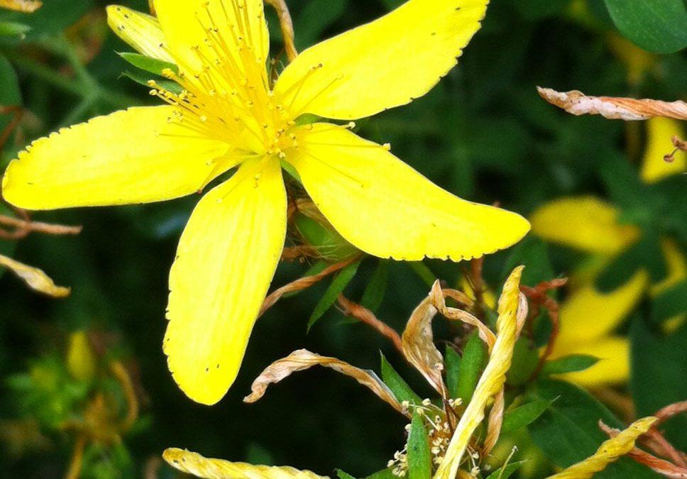 An Antiviral Herb that Uplifts the Spirits