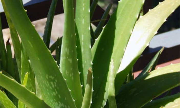 Simple Aloe Vera Skin Spray